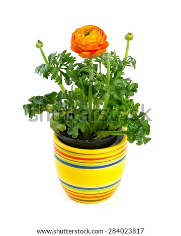 orange ranunculus growing - stock photo