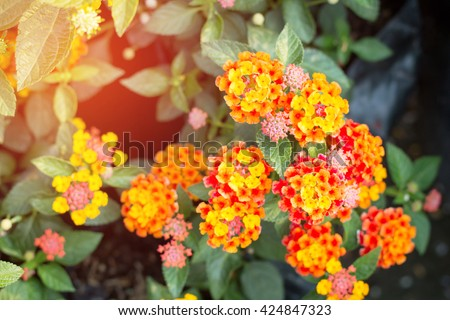 Orange-red lantana blooming with green leaf. - stock photo