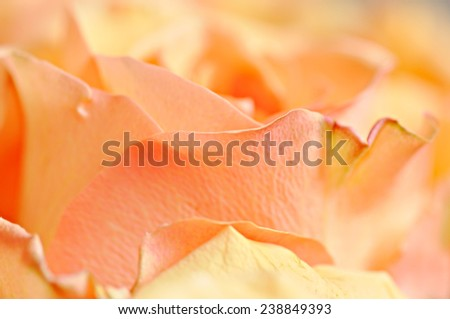 Orange Rose Background, blurred - stock photo