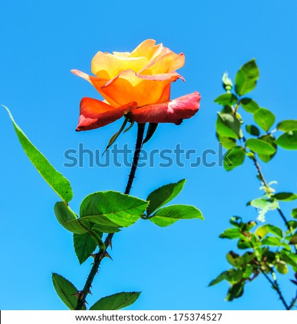 Orange rose blooming in clear sky. - stock photo