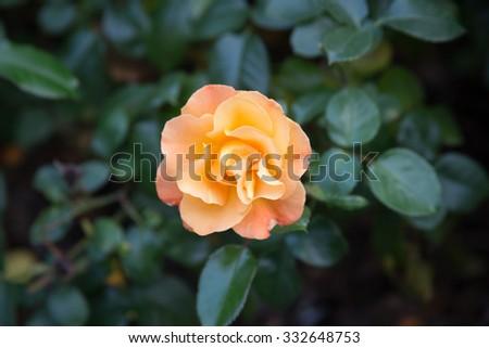 Orange rose close up - stock photo