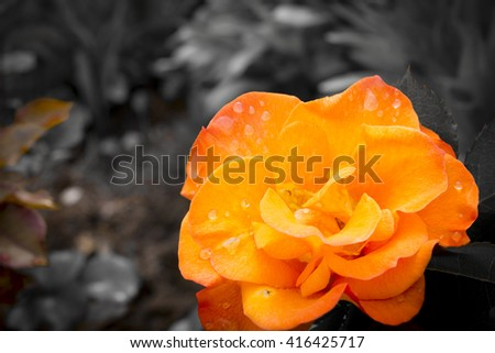 orange rose, close-up, on a blurred background - stock photo