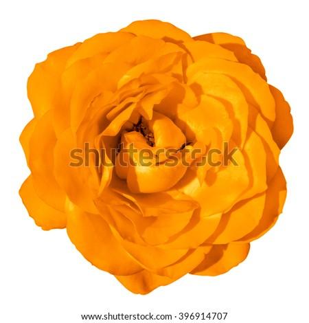 Orange rose flower macro isolated on white - stock photo