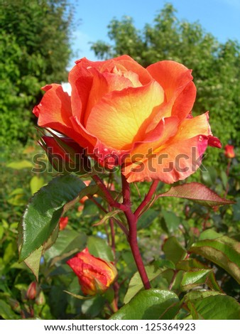 Orange rose in a garden with green leafy background. - stock photo