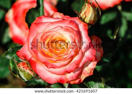 Orange rose in the garden,gentle caressing rose flower under spring sun . decoration , floral , wedding,Orange rose in the garden,Close-up image of yellowish rose - stock photo