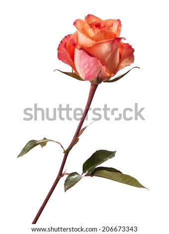 Orange rose isolated on white background.  Focus on the center of flower - stock photo