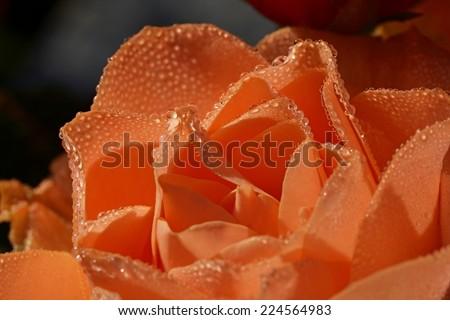Orange rose with dew - stock photo