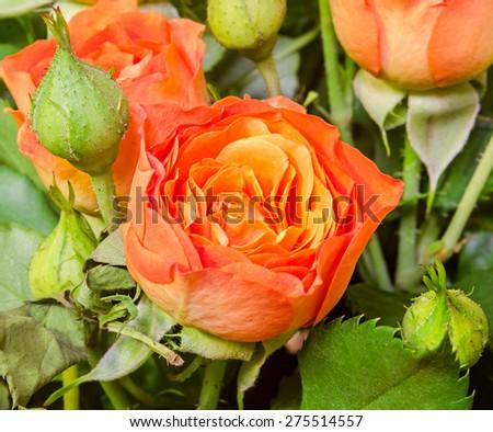 Orange roses flowers with bud, close up, floral arrangement, bouquet. - stock photo