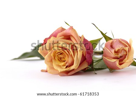 Orange roses with space for text - stock photo