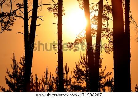 Orange sunset with black pines silhouette - stock photo