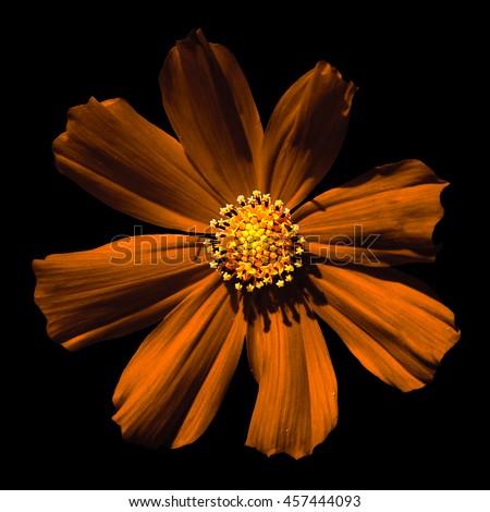 Orange surreal flower Primula macro isolated on black - stock photo