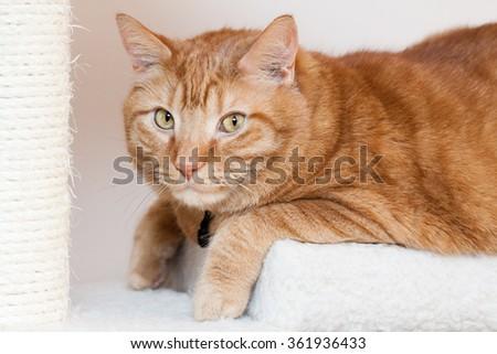 Orange Tabby Cat Lying on a Cat Tower Tree. - stock photo