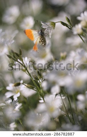 Orange Tip butterfly - sharpness on head and blurred background - stock photo