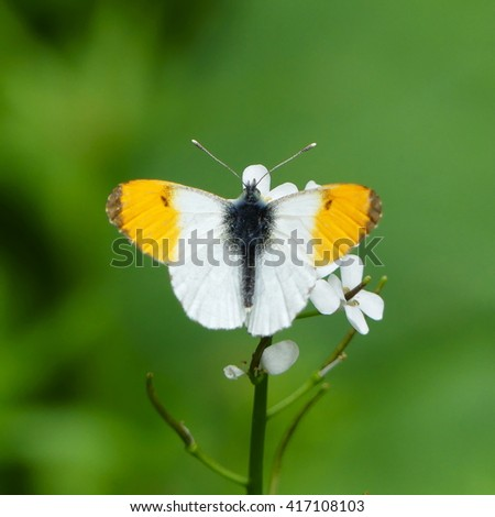 orange tip butterflyAnthocharis cardamines - stock photo