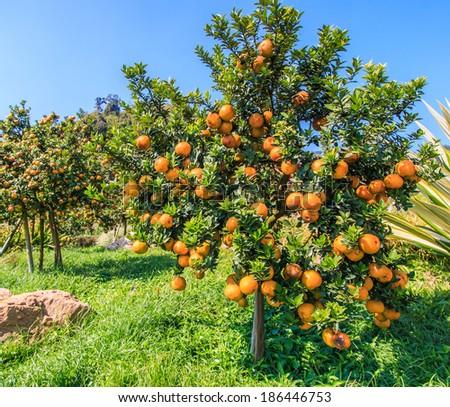 Orange tree stock photos illustrations and vector art