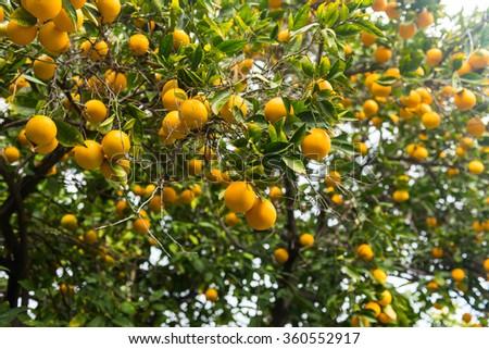 Orange tree - stock photo
