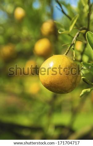 Orange tree branch - stock photo