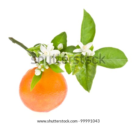 Orange tree flowers on a orange fruit isolated on white background - stock photo