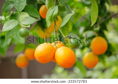 Orange tree fruits and green leaves in farm - stock photo