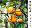 Orange tree - ripe fruits in warm summer sunlight - stock photo