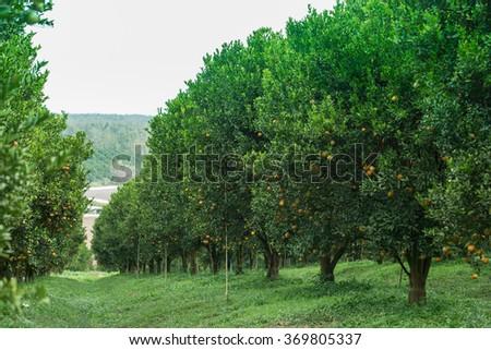 Orange trees in the garden - stock photo