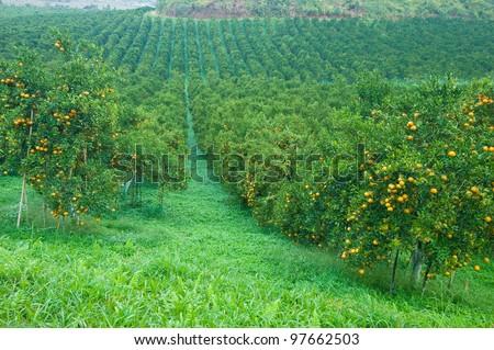 Orange trees plantation with fruits - stock photo