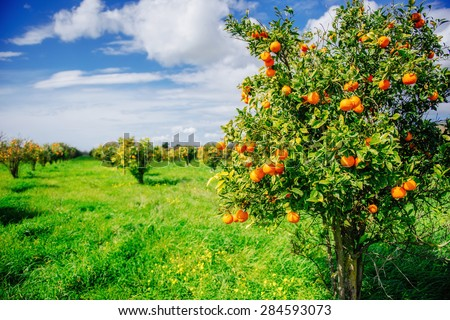 orange trees plantations - stock photo