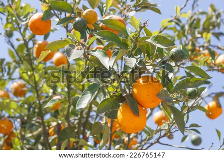 Orange trees with fresh fruits - Citrus sinensis - stock photo