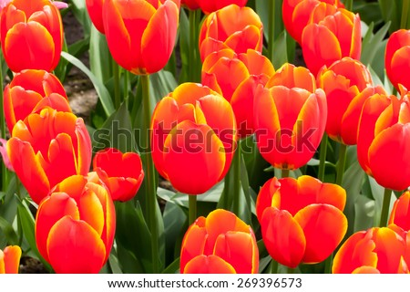 Orange tulip - stock photo