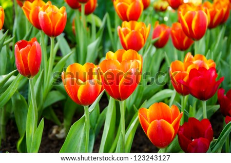 Orange tulip flower in garden - stock photo