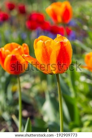 Orange tulips in the spring sunshine - selective focus - stock photo