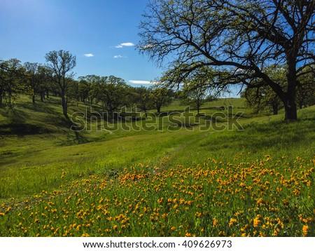 orange wildflowers and mature oaks along lush nature path - stock photo