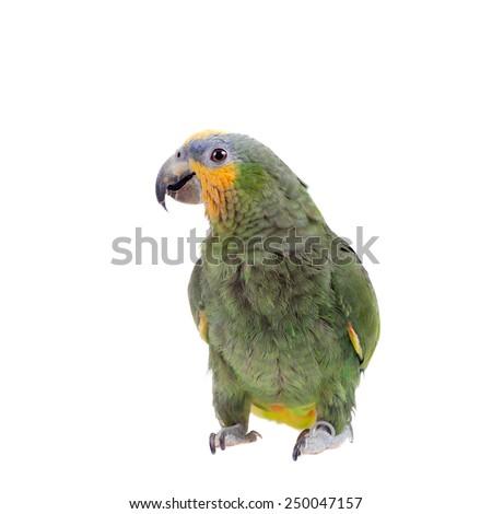 Orange-winged amazon on white background - stock photo