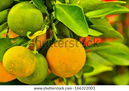 oranges hanging on a tree - stock photo