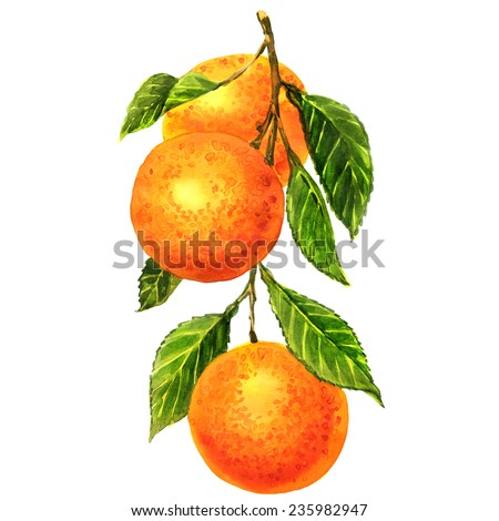 Oranges on a branch with leaves Isolated - stock photo
