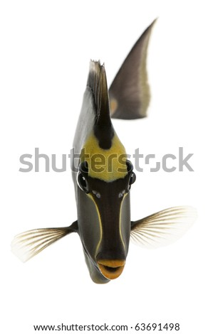 Orangespine unicornfish, Naso lituratus, in front of white background - stock photo