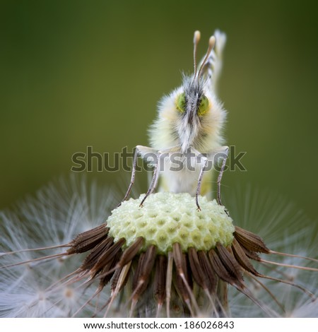 Orangetip looking at the photographer - stock photo