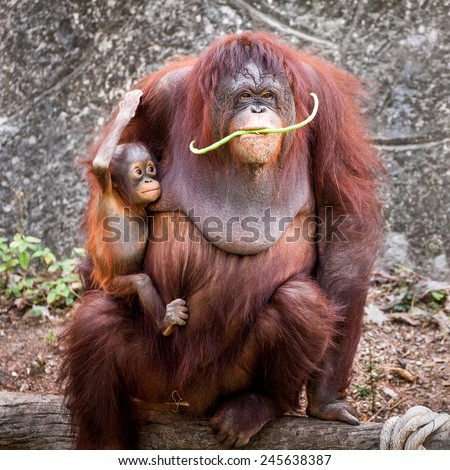orangutan cute - stock photo