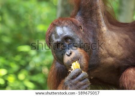 Orangutan eating bananas - stock photo