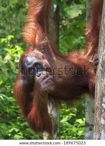 Orangutan eating Coconut - stock photo