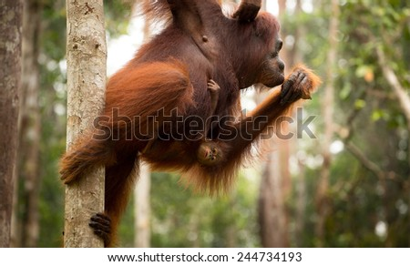 Orangutan family in the forest. - stock photo