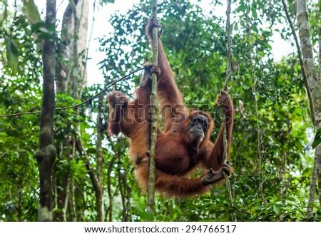 Orangutan family in the wild forests of Sumatra - stock photo