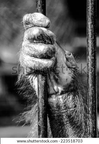 Orangutan hand - black and white - stock photo