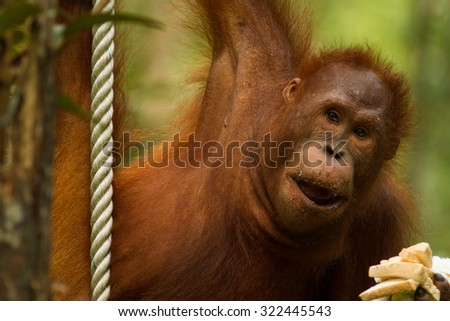 Orangutan hanging from a rope with a hand full of bread  - stock photo
