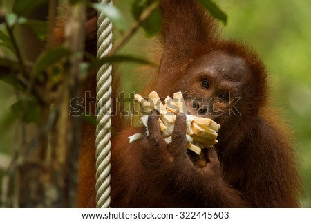 Orangutan hanging from a rope with eating bread - stock photo
