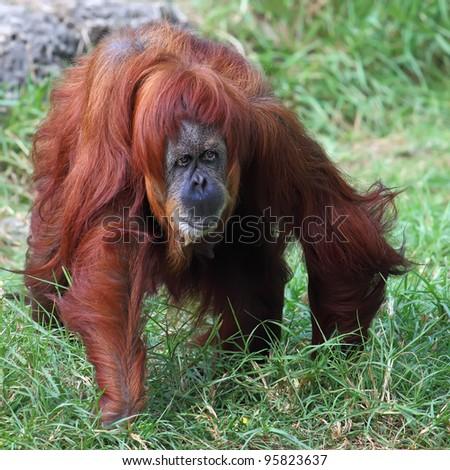 Orangutan in captivity in a zoo - stock photo