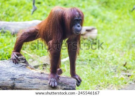 Orangutan in Sumatra, Indonesia - stock photo