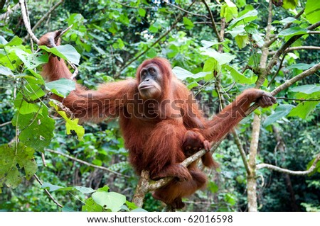 Orangutan in Sumatra, Indonesia - stock photo