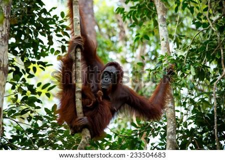 Orangutan in the jungle of Borneo Indonesia. - stock photo