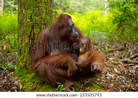 Orangutan in the jungle of Borneo Indonesia. - stock photo